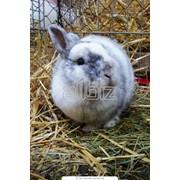 Кролики мясных пород фото