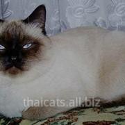 Кошки тайские фото