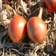 Семена лука, Империос F1, Lark seeds, упаковка (100 000 сем.) фото