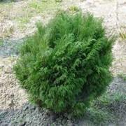 Ландшафтное растение Микробиота фото