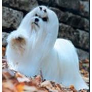 Собаки декоративные фото