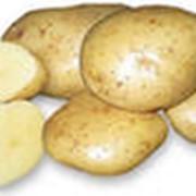 Картофель сорт Каратоп фото