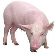 Комбикорм откормочный полнорационный для свиней от 6 мес. фото