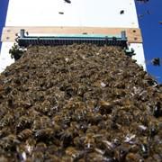 Пчелосемьи среднерусской породы фото