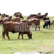 Племенной крупно рогатый скот фото