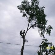 Удаление деревьев методом промышленного альпинизма фото