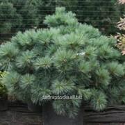 Сосна Pinus strobus Macopin фото