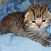 Голубые британские котята фото