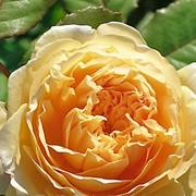 Розы Кроун Принцесса Маргарет фото