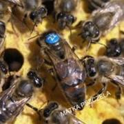 Матка пчел фото