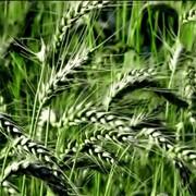 Пшеница озимая: Память, Херсонская безостая, Пал-Пич, Селянка, Батько. фото