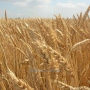 Пшеница мягкая озимая сорт Поэма Элита фото