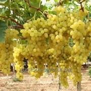 Виноград столовый фото