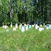 Пчелопакеты фото