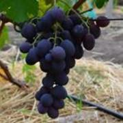 Саженцы винограда техничесских сортов фото