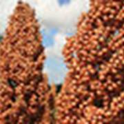 Семена сорго зернового РС1