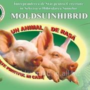 Свиньи мясных пород фото