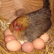 Декоративные куры, цыплята, яйцо инкубационое. фото