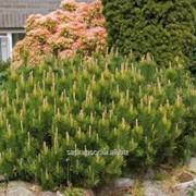 Сосна Pinus mugo mughus фото