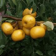Гибрид яблони с грушей Nashi Shinko фото