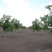 Саженцы ореха в Молдове фото