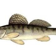 Рыба речная: Густера, Лещ, Карась, Плотва, Судак, Чехонь фото