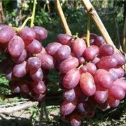 Саженцы винограда Спорт2 Придорожный фото