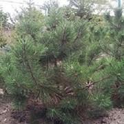 Сосна австрийская черная 80-100 см фото