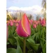 Луковицы тюльпана Эрик Ховсью Для выгонки.Вес луковицы 40-60гр фото
