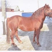 Лошадь русская тяжеловозная фото