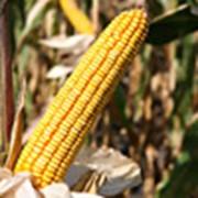 Гибрид кукурузы Любава 279 МВ фото
