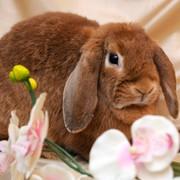 Кролик породы Карликовый баран - взрослые животные фото