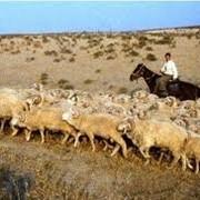 Овцы фото