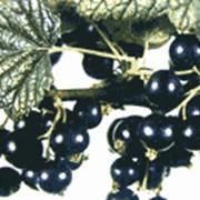 Саженцы смородины черной фото