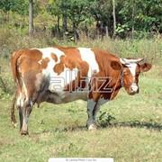 Молоко коровье, цельное, сухое фото