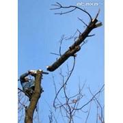 Кронирование и удаление деревьев фото