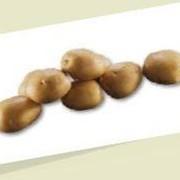 Картофель Сантэ средне-ранний фото