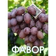 Саженцы элитных сортов винограда Аркадия, Преображение, Ливия, Сфинкс, Виктор, Красотка фото