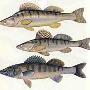 Рыба, Судак