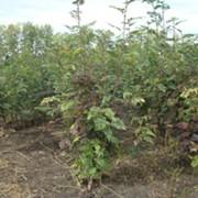Саженец с комом земли Рябина сладкая сортовая высота 1,5-2,0 м фото
