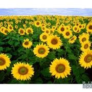 Продам семена подсолнечника Перформер (гибрид,) румынской селекции фото