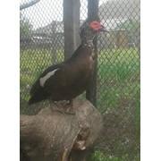 Утки мускусные коричневые. фото