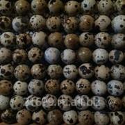 Инкубационные перепелиные яйца, мясная порода Фараон. фото