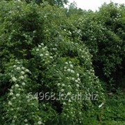 Пузыреплодник калинолистный Physocarpus opulifolius, h см 40-60 фото