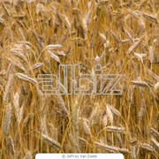 Пшеницу купить фото