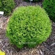 Туя Thuja occidentalis Tiny Tim фото