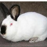 Кролики племенные Калифорнийской породы фото