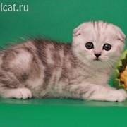 Шотландские вислоухие котята скоттиш-фолд фото