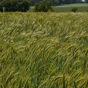Семена пшеницы твердой яровой фото