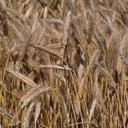 Семена пшеницы озимой фото